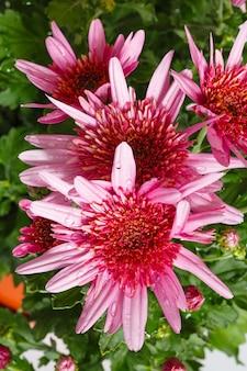 花びらに水滴が付いた菊のピンクの花(クローズアップ)。自然の背景。