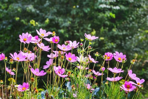 ぼやけた背景にピンクの花の宇宙。夏の花