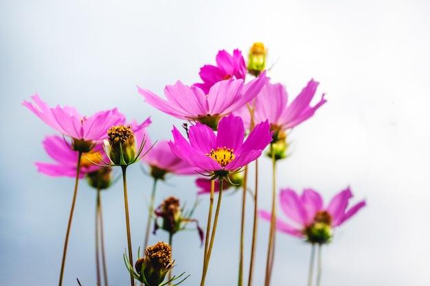 空の背景にピンクの花の宇宙。夏の花
