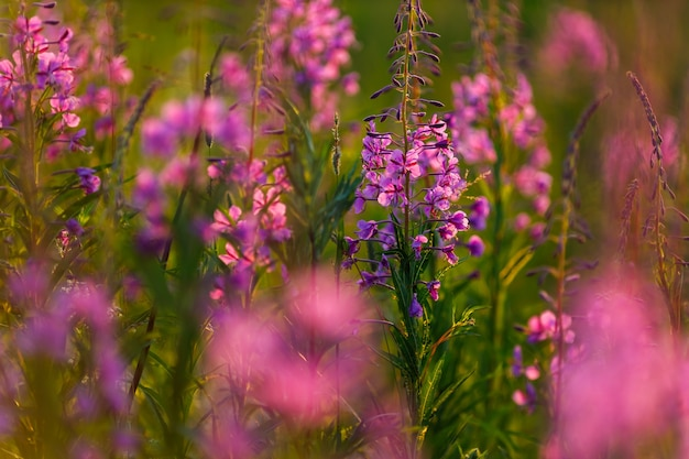 Pink flowers in the field