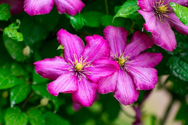 Pink flowers in the garden. summer background.