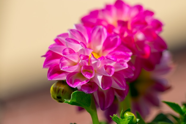 Pink flowers in the garden. summer.