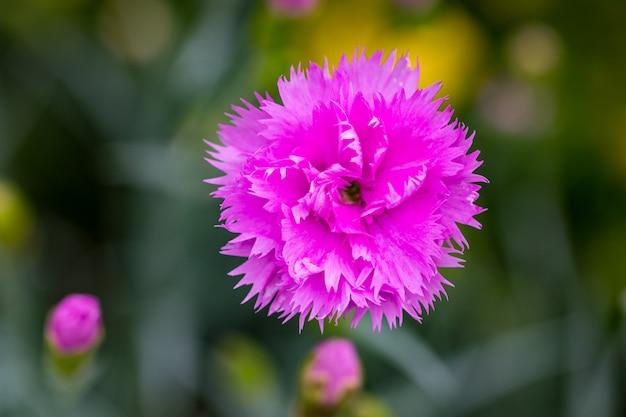 Pink flowers in the garden.