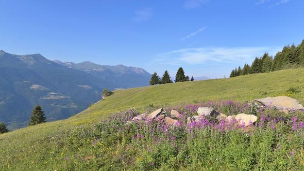 Розовые цветы на лугу на альпийской горе под голубым небом