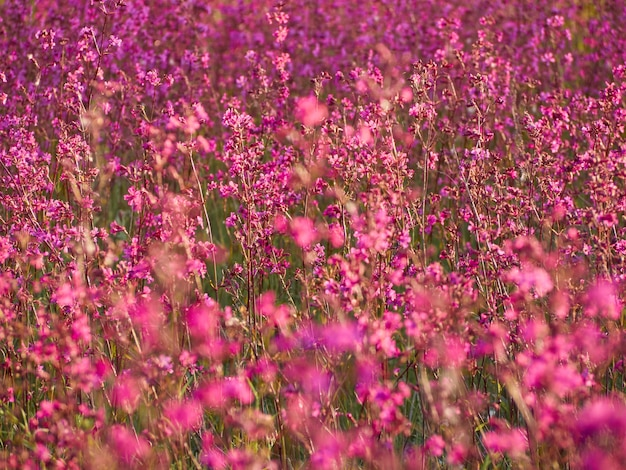 フィールドで暖かい光の中でピンクの花。