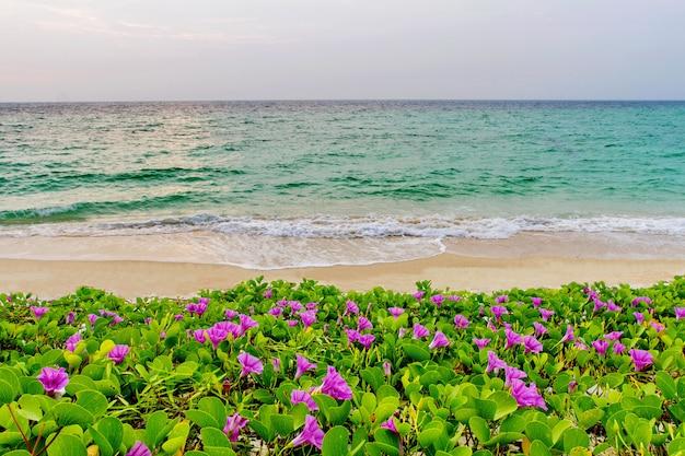 ピンクの花(サツマイモpes-caprae)と朝の日の出のビーチ