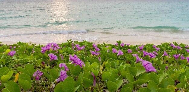 ピンクの花(サツマイモpes-caprae)と朝日の出のぼやけた海