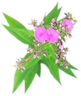 白い背景で隔離のピンクの花