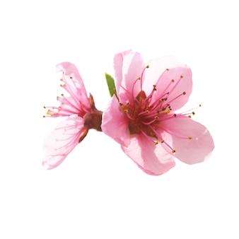 ピンクの花は白い背景で隔離。マクロ撮影 Premium写真