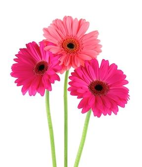 ピンクの花、白で隔離