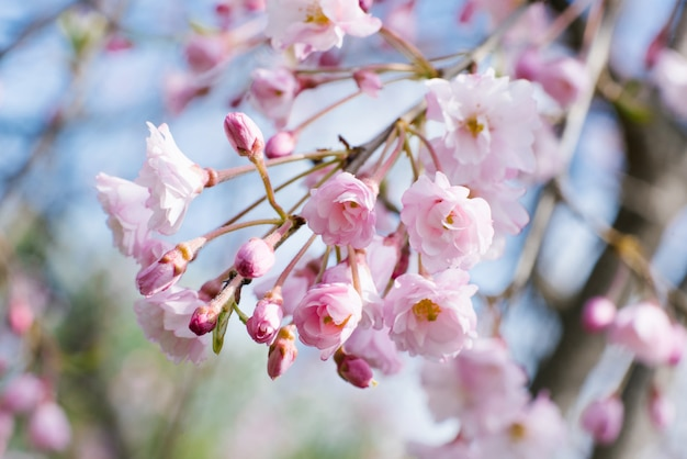 Pink flowers of japanese cherry close-up in the spring garden