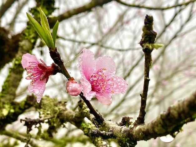 Pink flowers nature in sapa  vietnam