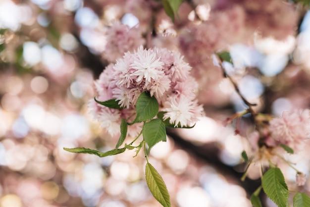 Розовые цветы вишни на дереве крупным планом ветка вишни с цветами в весеннем цветении