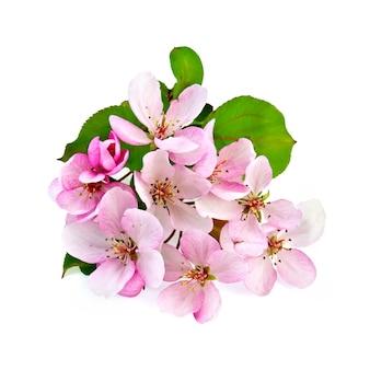 Розовые цветы яблони с зелеными листьями, изолированные на белом фоне