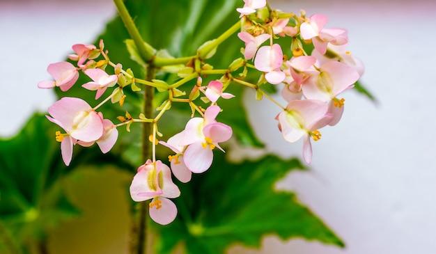 緑の葉の上のベゴニアのピンクの花。屋内植物の成長