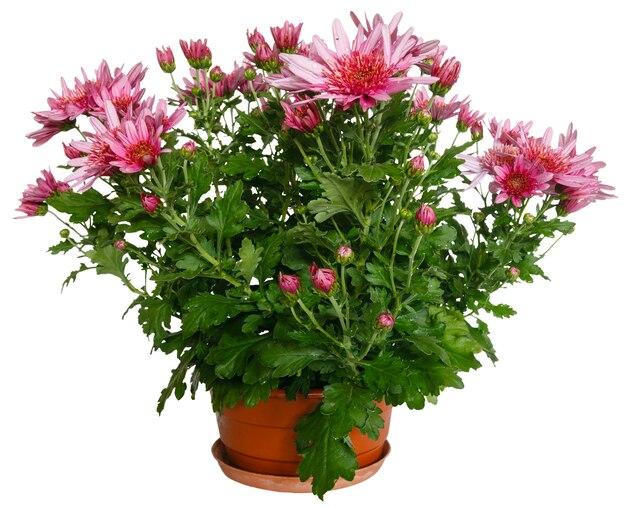 植木鉢の菊のピンクの花。