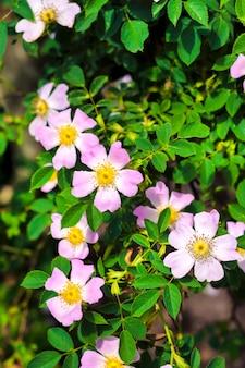Розовые цветы шиповника с листьями