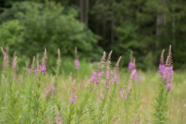 Розовые цветки кипрея epilobium или chamerion angustifolium в цвету иван-чай. Premium Фотографии