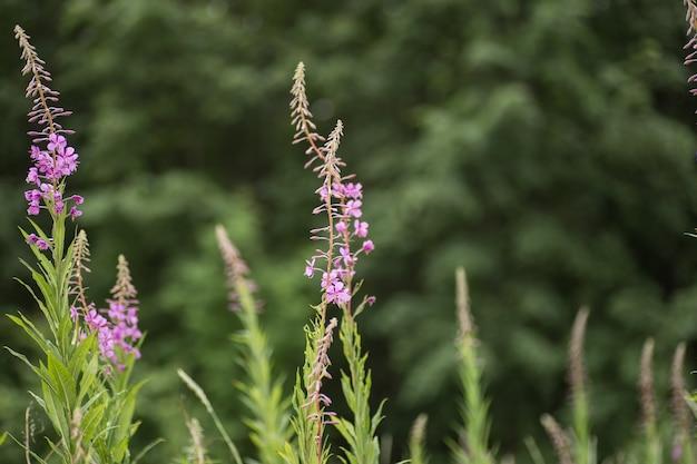 Розовые цветки кипрея epilobium или chamerion angustifolium в цвету иван-чай.