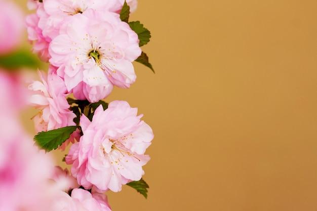 オレンジ色の背景に日本の桜のピンクの花。 space_をコピーします