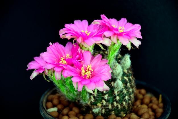 Lobivia spp.의 핑크 꽃