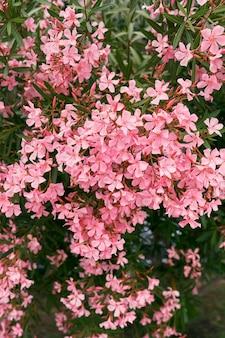 Розовые цветы флокса на зеленом кусте крупным планом