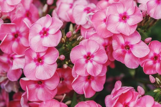 庭のフロックスパニキュラータブッシュのピンクの花