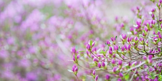 シャクナゲのピンクの花。ウェブサイトの背景やグリーティングカードの美しい咲く韓国シャクナゲとのどかなパターン。コピースペース。バナー