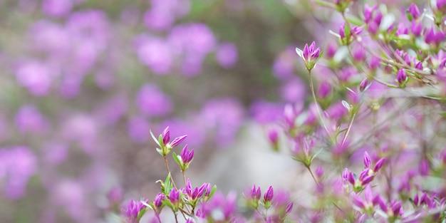 シャクナゲのピンクの花。ウェブサイトの背景やグリーティングカードの美しい咲く韓国シャクナゲとのどかなパターン。コピースペース