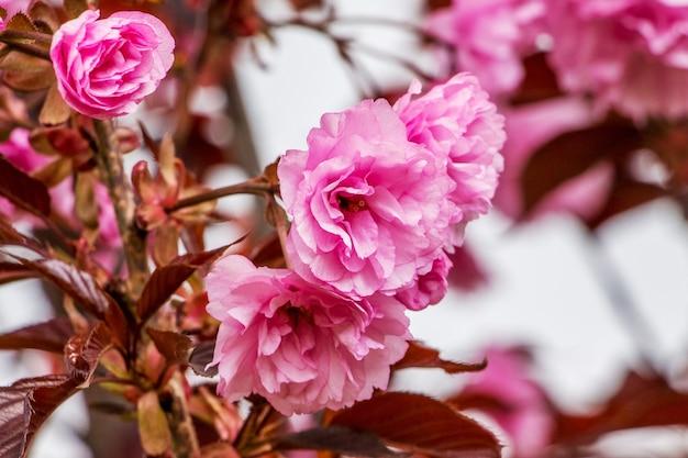 桜のピンクの花が庭の木にクローズアップ