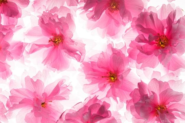 Розовые цветы сакуры как фон