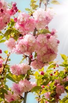 青い空の桜のピンクの花が日光に照らされています