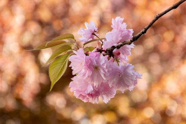 桜のピンクの花