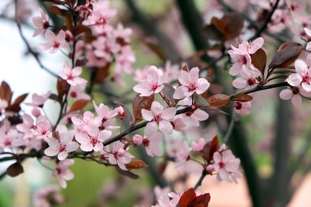 Розовые цветы на дереве. вишневый цвет в парке. весенний солнечный день