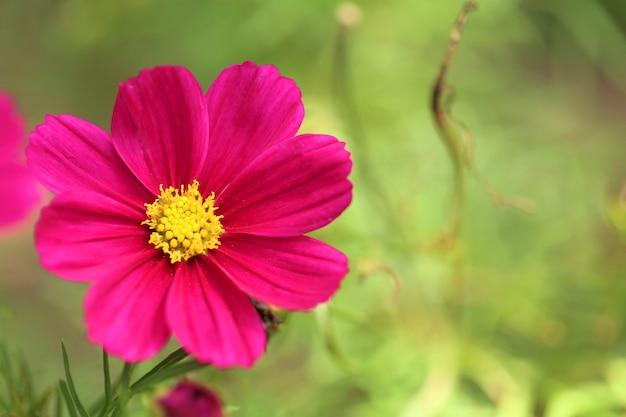 Розовые цветы на размытой природе. цветок розовой ромашки