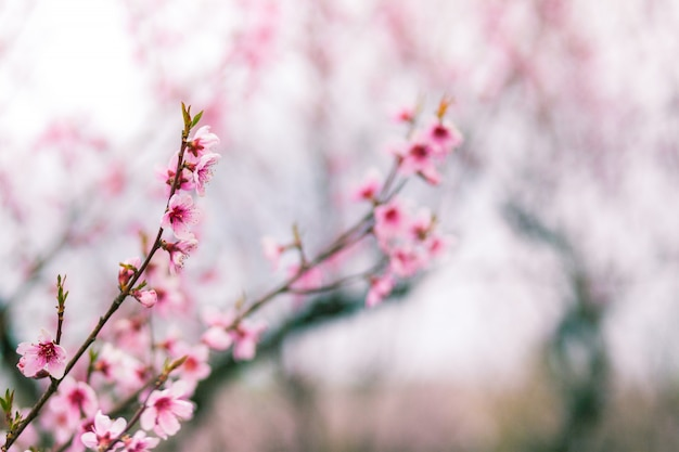 Pink flowers on a peach tree close-up