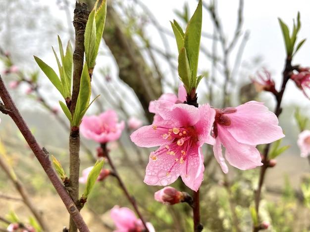 Pink flowers in sapa vietnam