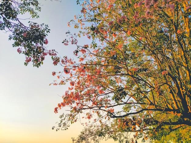 ピンクの花タベブイアロゼアの花タベブイアロゼアの木が咲く