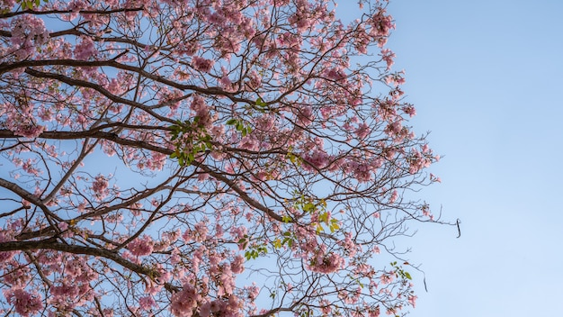 Pink flowers (tabebuia rosea) on the branches