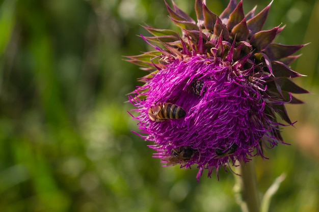 꿀벌 약용 꽃과 핑크 꽃 엉겅퀴를 닫습니다