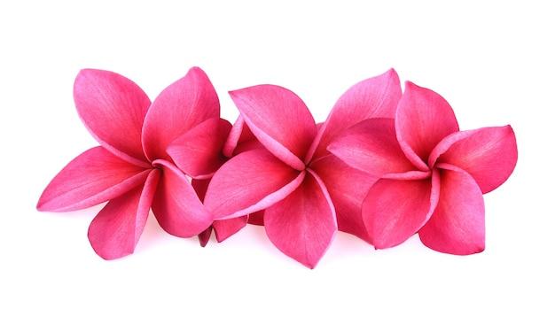 흰색 배경에 고립 된 핑크 frangipani 꽃