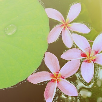 Pink frangipani flowers on water with retro filter effect