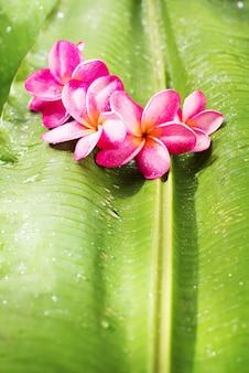 Pink frangipani on green palm leaf tropical beauty