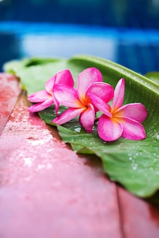 Pink frangipani near swimming pool copy space