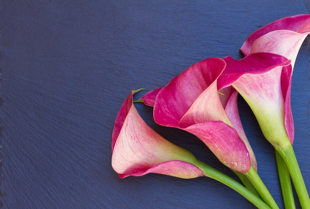 Pink fresh calla lilly flowers close up on black stone  background