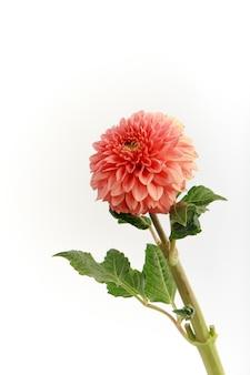 白い壁にピンクの新鮮なダリアの花