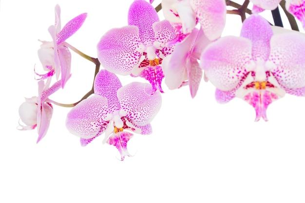 Розовая свежая орхидея крупным планом на белом фоне