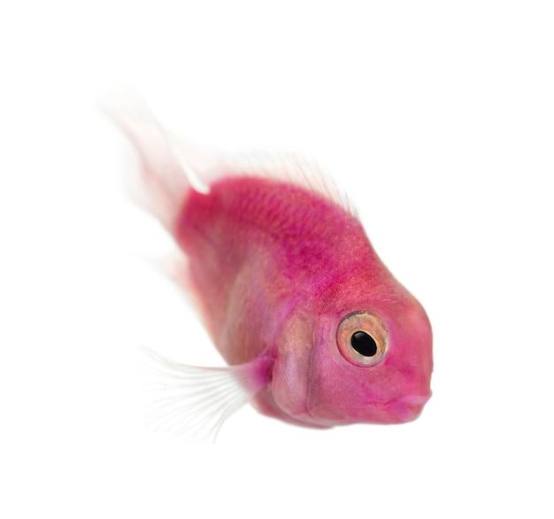 ピンクの淡水魚が泳いで、白で隔離