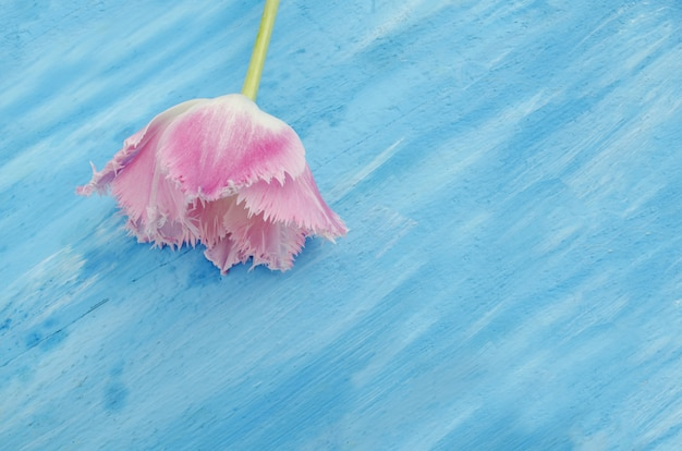 Pink fringed tulip on blue wooden table background