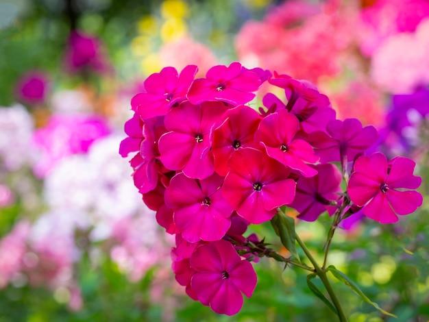 ピンクガーデンフロックス(フロックスパニキュラータ)。庭のピンクのフロックスの開花枝。ソフトぼやけセレクティブフォーカス。